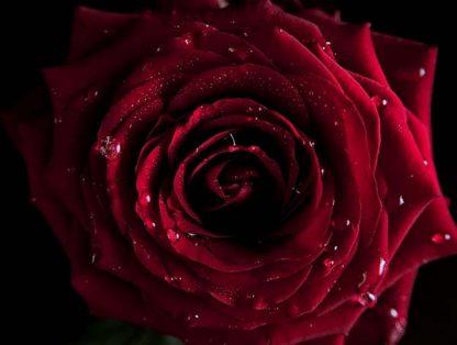 темно-красная роза
