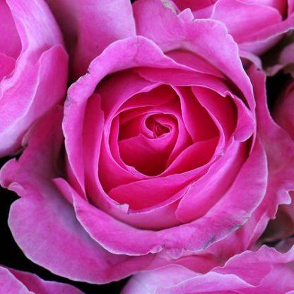 Розовая роза для любовной магии